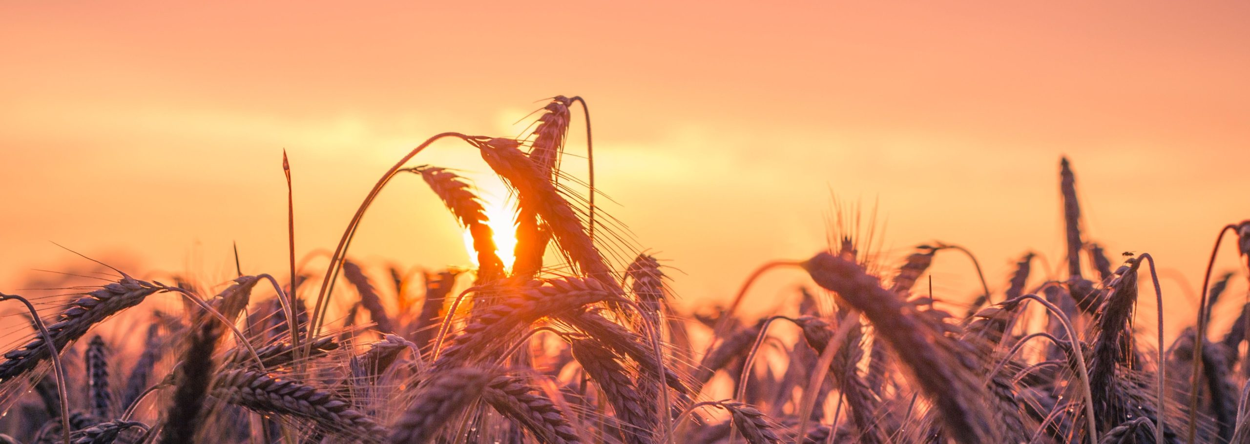 picture of wheat at golden hour