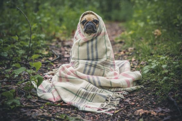 Dog wrapped in a blanket